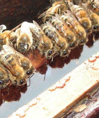 nourrissement abeilles sirop