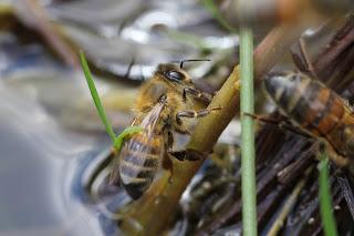 abeille à la recherche d'eau