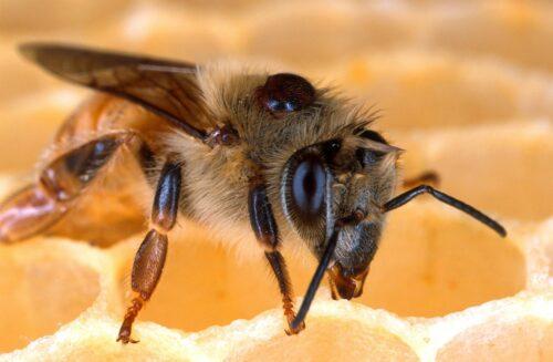 Abeille sur alvéoles de cire avec varroa